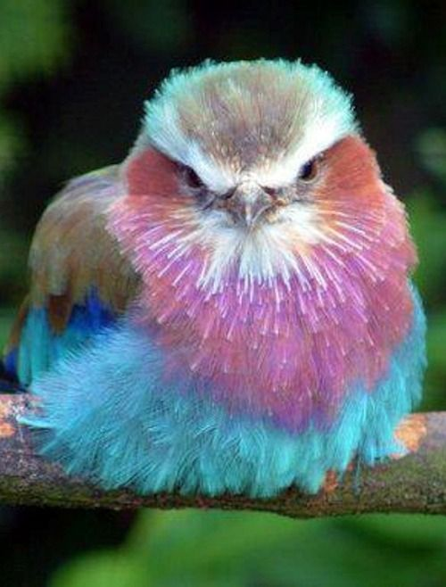 Lilac-Breasted Roller……IF THIS IS A LITTLE GIRL BIRD, BET ALL THE OTHER GUY BIRDS  ARE MAKING THEIR PLAY……….ccp