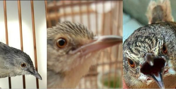Cara Akurat Membedakan Ciblek Gunung Jantan Dan Betina Beserta Penjelasannya Hobi Burung Burung Piaraan Betina