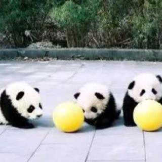 baby pandas!