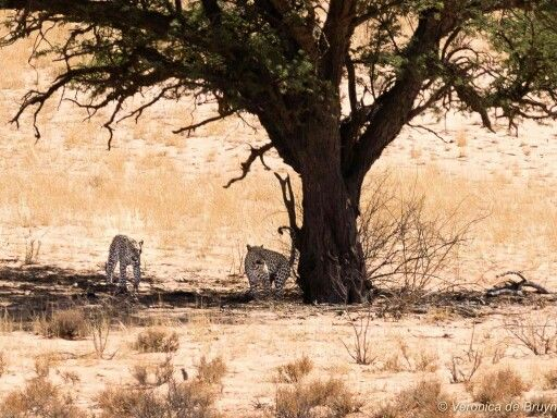 23/11/2015-27/11/2015 - Sorry,there being no wifi I neglected to post these sighting when I got home.  We thought that although (apart from the 23/11 8h00) all sightings were between Auchterlonie and Rooibrak they were different leopards. Cannot say much about the one in the cave!