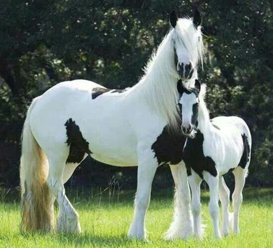 Black and white horse - baby and mother :)