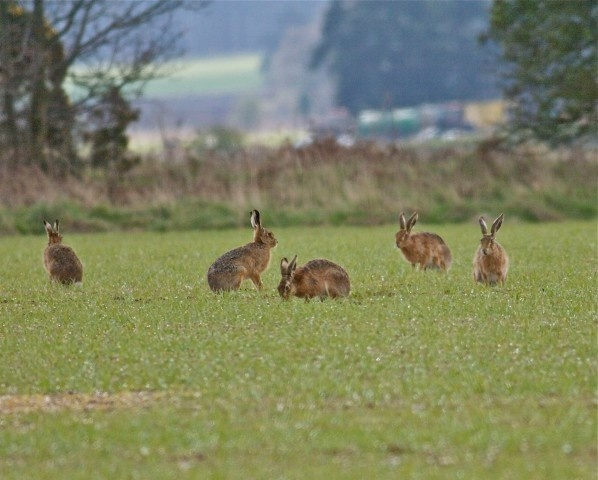 Norfolk Wildlife Trust - Gallery. Hares at Foulden on 14/04/2012. Contributed by: Alex McLennan.