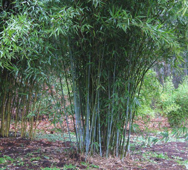 7 besten bambus bilder auf pinterest bambus chinesisch for Gartengestaltung chinesisch