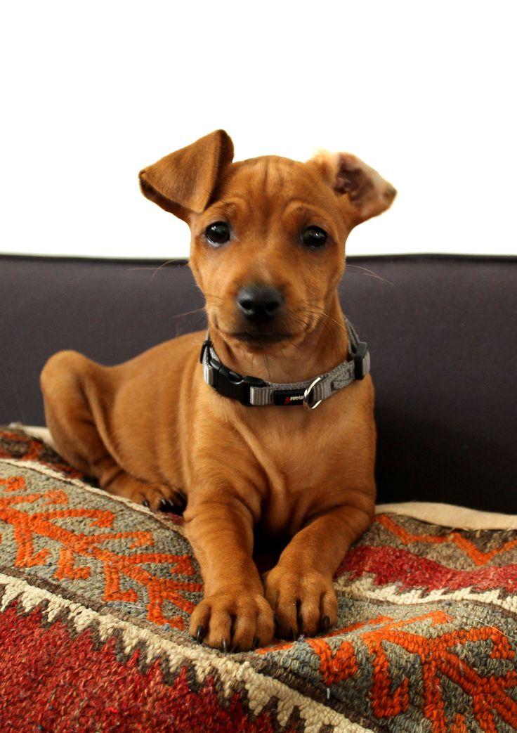 Min Pin puppy, Miniature Pinscher