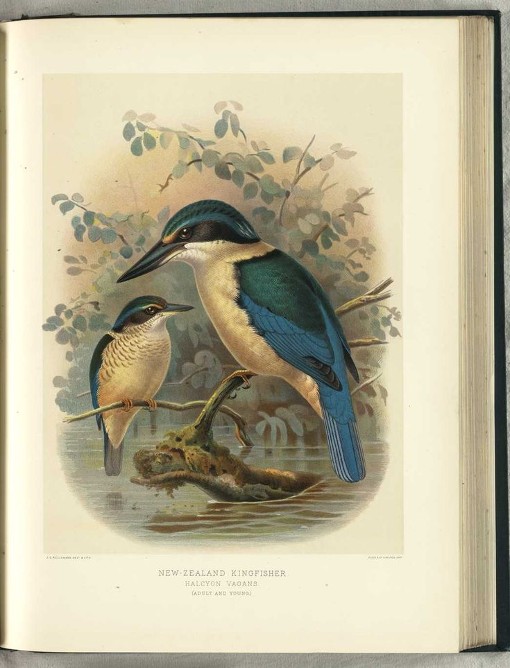 NZ Kingfisher (adult & young) by JG Keulemans (from Walter Buller's 'A History of The Birds of New Zealand' - 1870's)