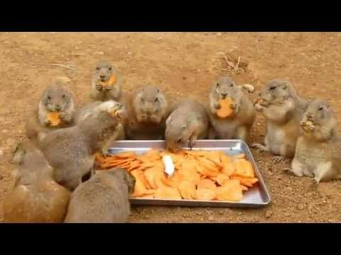 25+ best ideas about Prairie Dogs on Pinterest | Smiling ... - photo#17