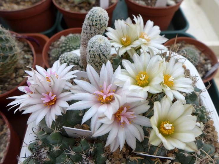 Kaktusy v regióne Vysoké Tatry a Spiš
