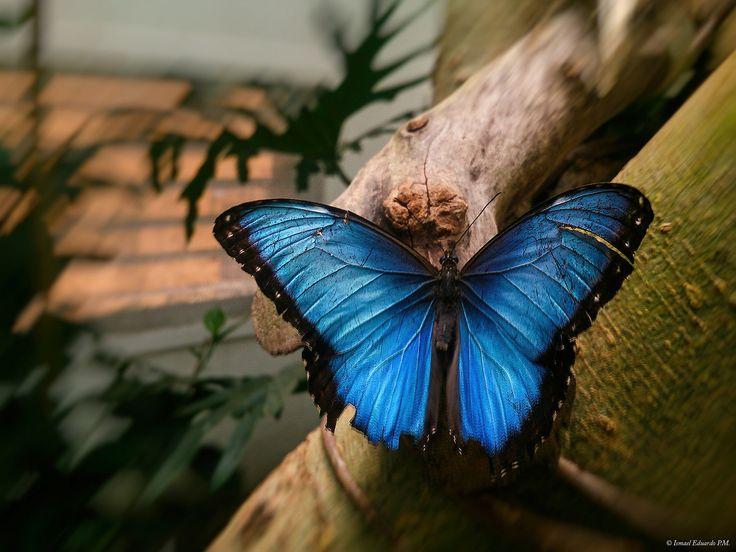 https://flic.kr/p/GwjgU4 | DSC_0039 m |  Mariposa morfo azul (Morpho helenor)