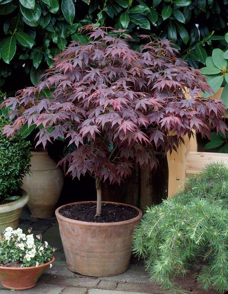 Acer palmatum 'Bloodgood'. Prefers part shade. Stunning in May/ June when new leaves are unfurled until Autumn.