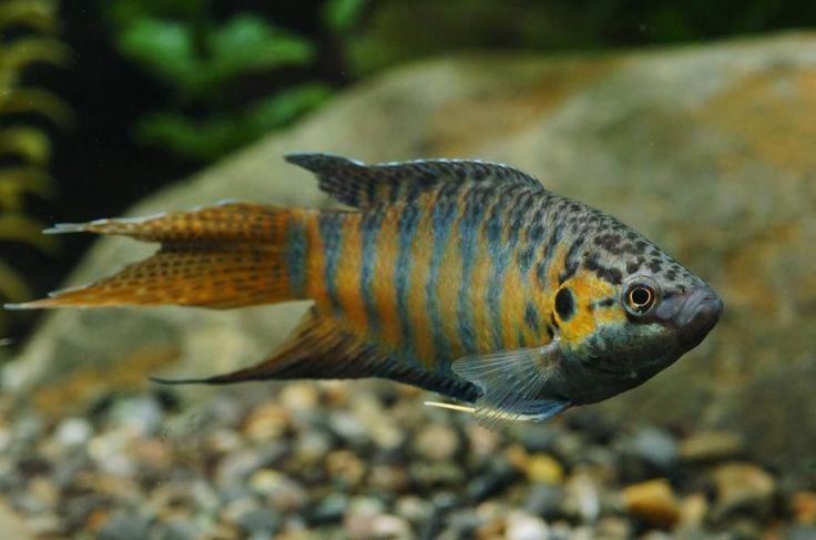 Live Tropical Aquarium Fish for Sale - Paradise Fish - Bundles 1 - 20 | eBay #TropicalFishFreshwater