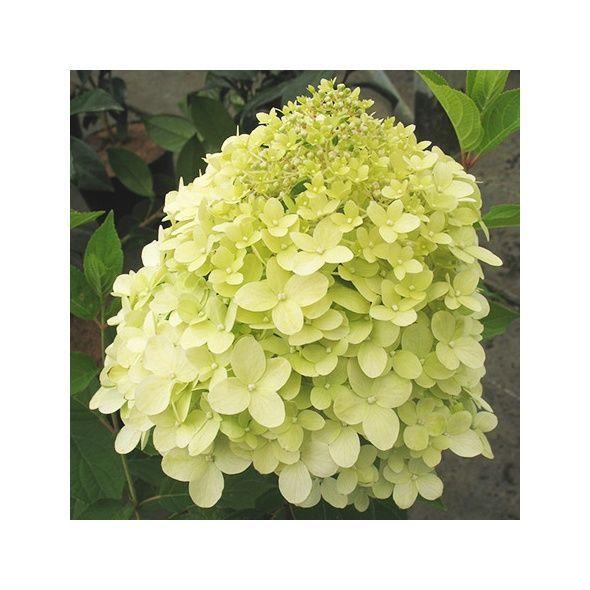 Hortensia paniculata 'Limelight'®