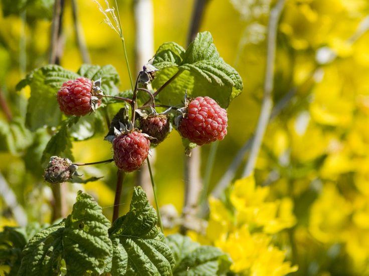 Garden raspberries