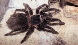 Tarantula in Volcan, Panama – http://bestplacesintheworldtoretire.com/questions-and-answers/684-how-bad-are-the-mosquitoes-and-other-bugs-and-insects-in-volcan-and-cerro-punta-chiriqui-province-panama