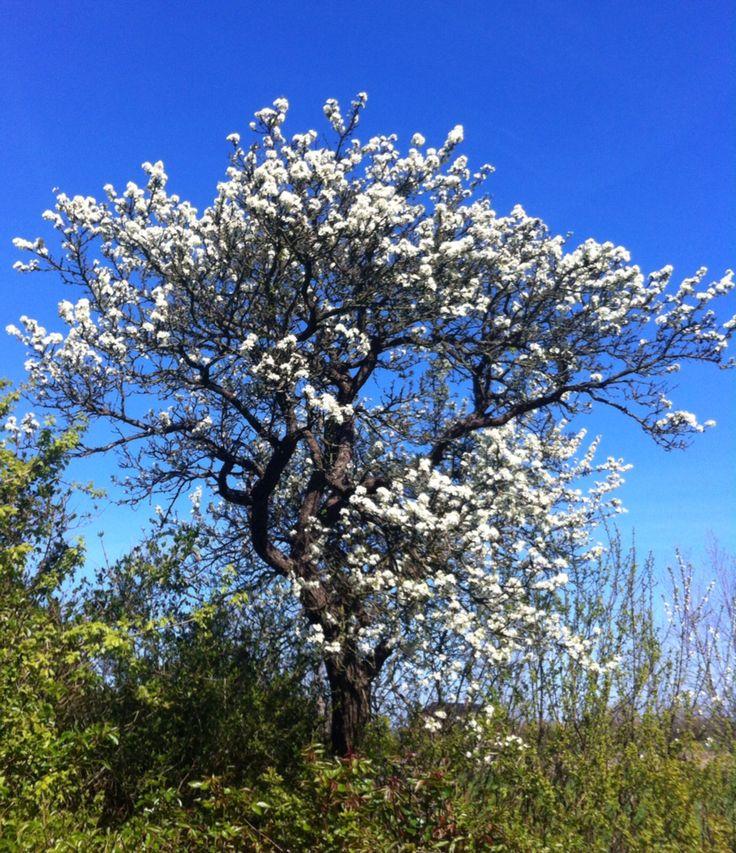 Mit blommetræ i Kragnæs