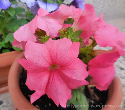 How to plant, grow, and care for Petunias