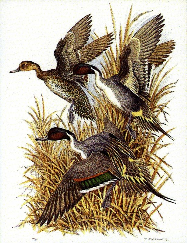 "TABLEAU PEINTURE canard pilet oiseau chasse - ""Canards pilets"""