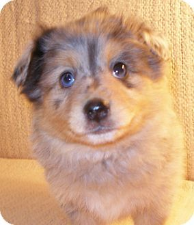 ADOPTED !! #INDIANA ~ Fiona is a Pomeranian mix #puppy & this little girl is a show-stopper!!! Perhaps the daddy was an Australian Shepherd? 2 blue eyes, lots of blue merle on her body & pretty face markings. She's gorgeous! Great personality too - confident, playful,  & smart! She's in need of a loving #adopter at BROWN COUNTY HUMANE SOCIETY 128 State Rd 135 S #Nashville IN 47448 bchumane@gmail.com Ph 812- 988-7362