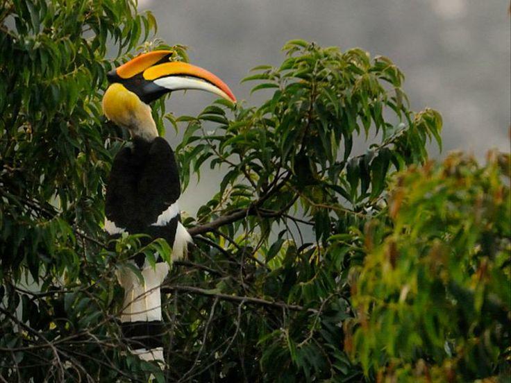 Great Indian Hornbill.>keralas state bird
