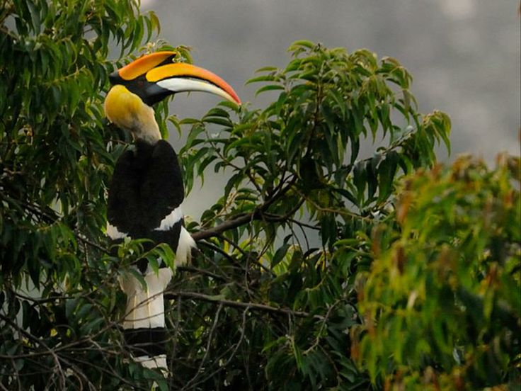 Great Indian Hornbill.>keralas state bird