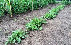 Rucola in unserem Gemüsebeet
