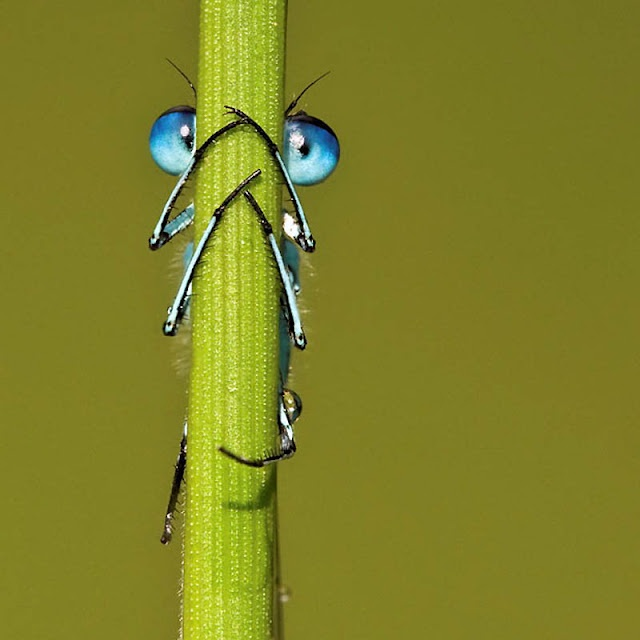 Hiding: Nature Beauty, Color Animal, Blue Eyes, Dragon Flying, Amazing Nature, Insects, Dragonfly, Peekaboo, Peek A Boo