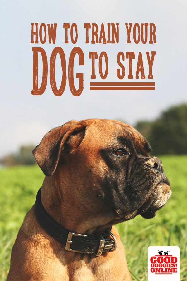 How To Train Your Dog To Stay Training Your Dog Dog Training