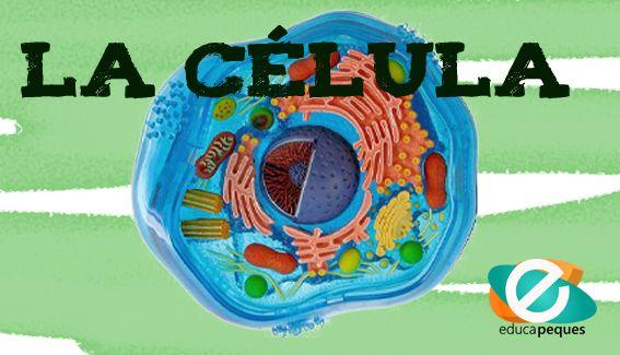 Guía para aprender sobre las células, Tipòs de células, seres unicelulares y pluricelulares. Fichas con ejercicios, vídeos, etc. Todo sobre la célula
