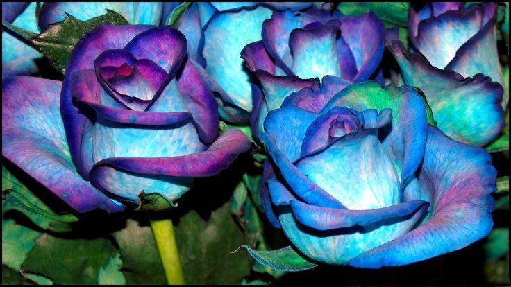 blue rose 1 - http://1080wallpaper.net/blue-rose-1.html