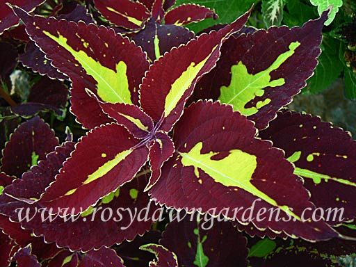 Saturn   Shade plants container, Flower photos, Container ...