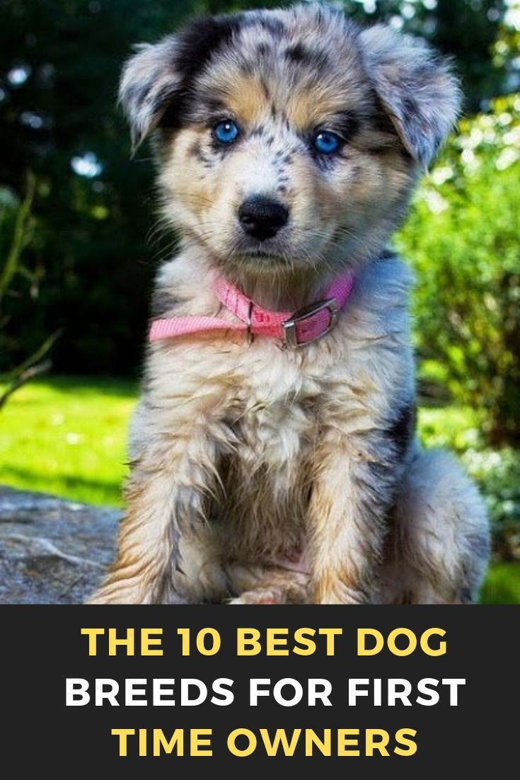 The 10 Best Dog Breeds For First Time Owners Dog Breeds Medium Best Dog Breeds Dog Breeds