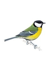 Great tit - adult