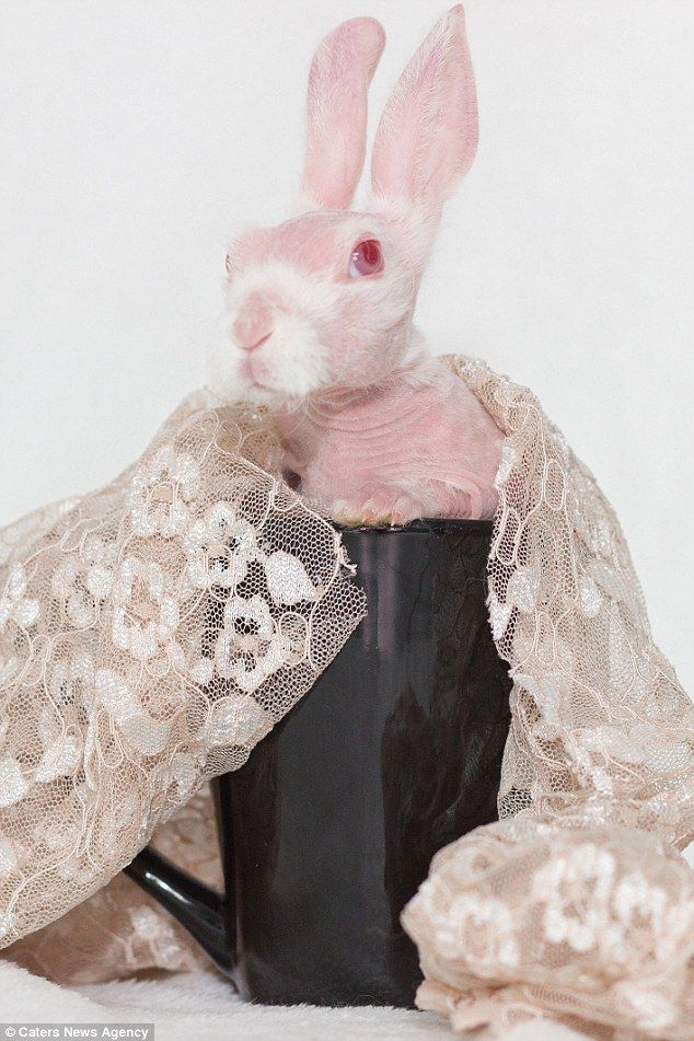 A bald rabbit destined for death because of an ultra-rare genetic disorder leaving him completely hairless has become an unlikely social media star