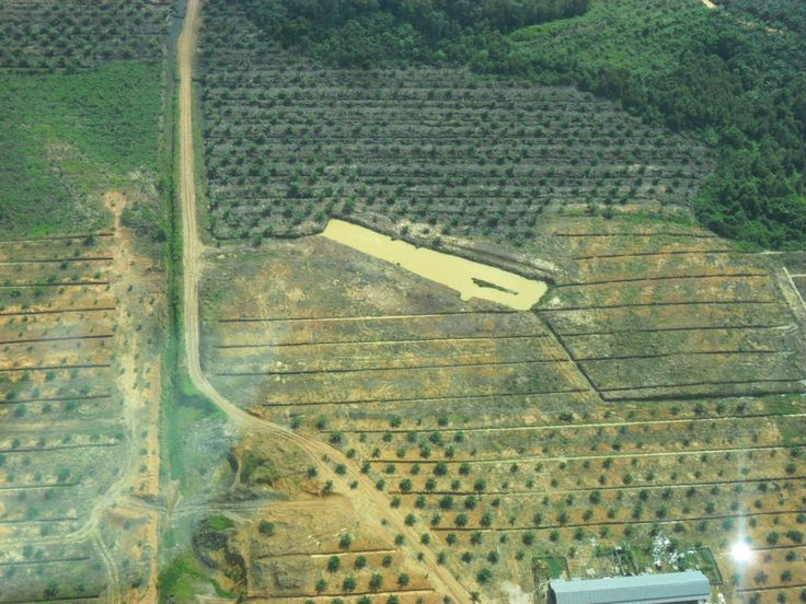 Land recently completed evicted and planted oil palm seedlings.
