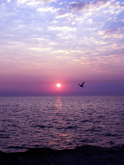 Lone Seagull flying home in the beautiful purple sunset.