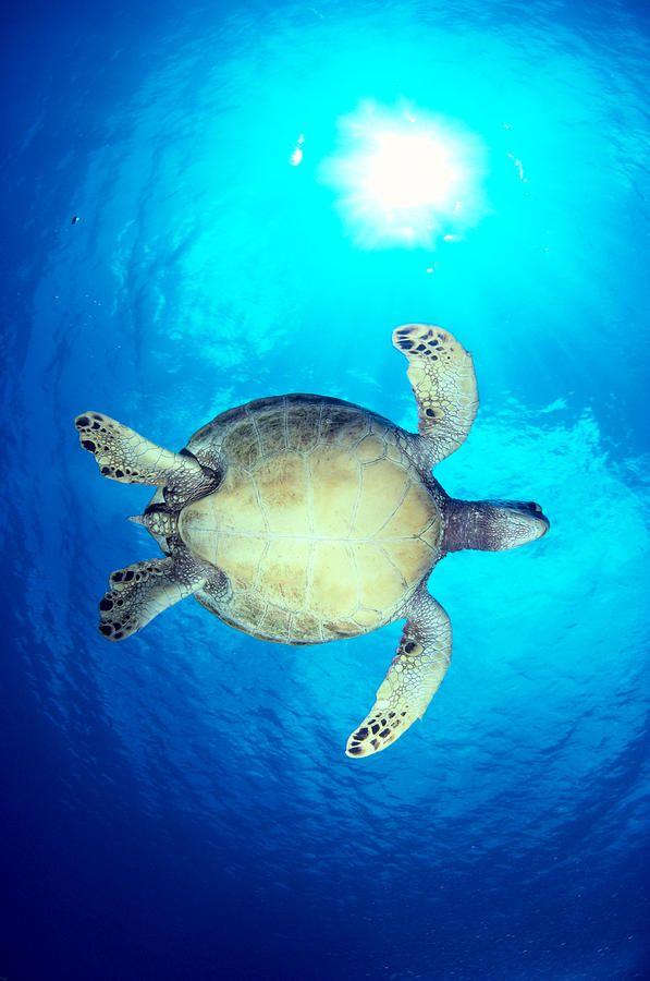 Hawaii, Green Sea Turtle #seaturtle