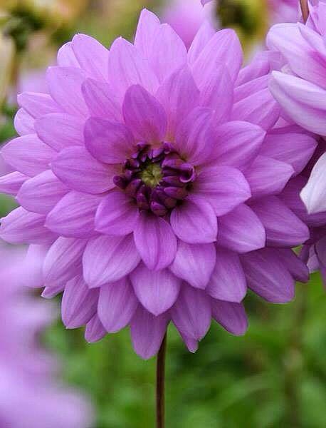 A beautiful Dahlia ~ each petal so perfectly made