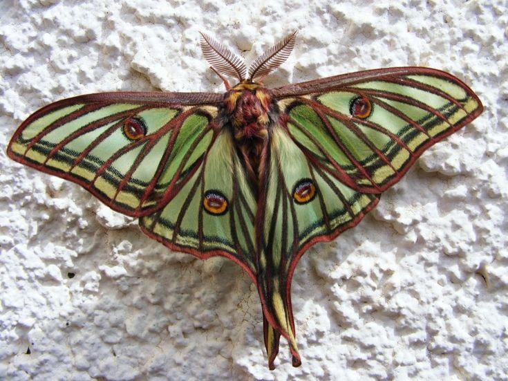 Les 25 meilleures id es de la cat gorie tatouage de cigale sur pinterest foug re tatouage - Signification papillon de nuit ...