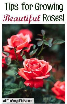 Tips For Growing Beautiful Roses....