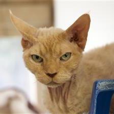 Persian cat rescue devon
