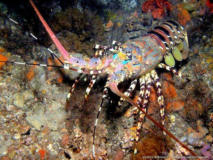 69 best Achelata (Unclawed Lobsters) images on Pinterest ...