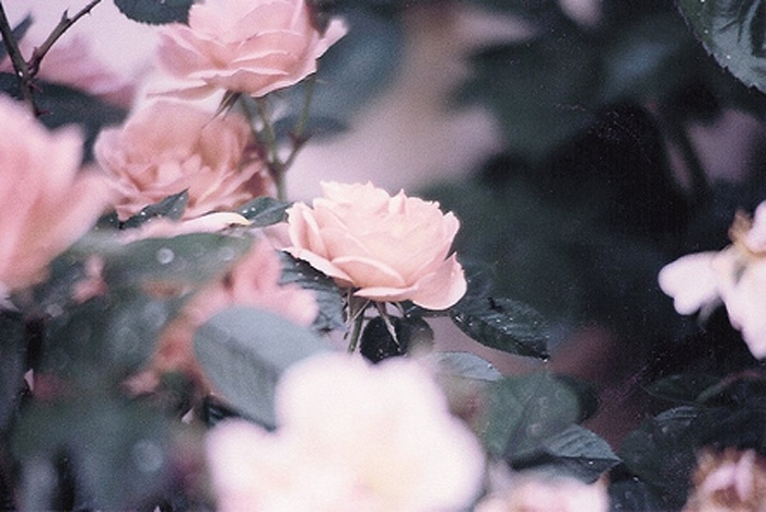 via lolita: Pretty Gardens, Perfect Pink, Pretty Pink, Pretty Things, Naturetru Colors, Pretty Flowers, Pink Floral, Pink Rose, Rose Smell