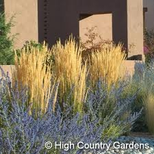 Karl Foerster feather reed grass in the back.  Grows to 4', likes full sun.  Ornamental through winter.  (back of house?)Foerster Feathers, Russian Sage, Karl Foerster, Foerster Grass, Gardens, Flower Ideas, Reed Grass, Calamagrostis Karl, Feathers Reed
