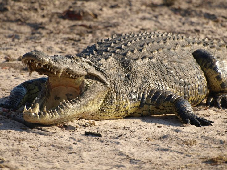 this is a crocodile. not an alligator. i love it.