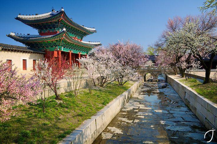 창경궁 Changgyeong Palace cherry blossoms by Romain John on 500px