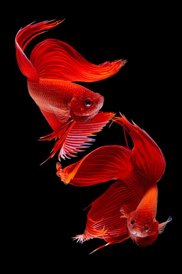 Siamese Fish Photograph by Subpong Ittitanakul