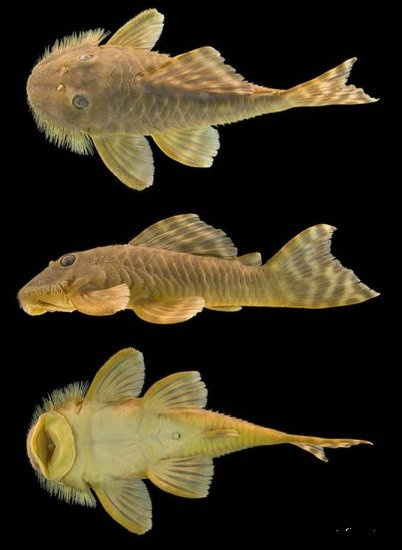 1000 ideas about plecostomus on pinterest tropical fish for Freshwater cleaner fish