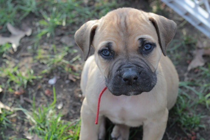 The Boerboel, or South African Mastiff, was bred