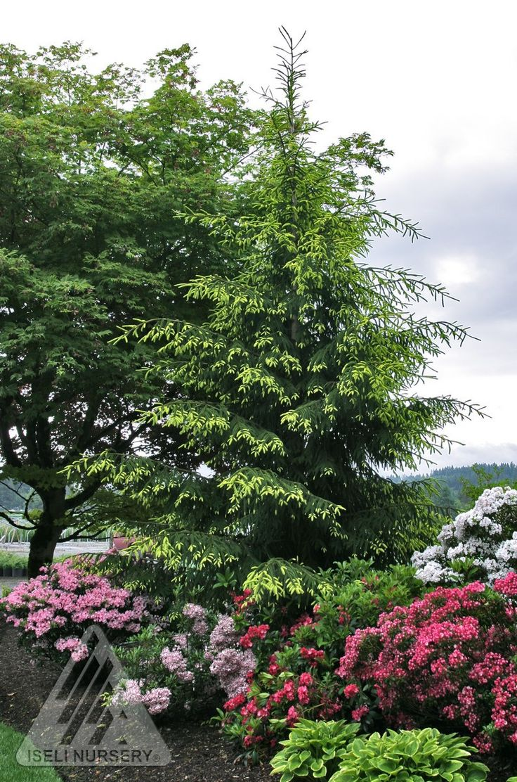 125 best evergreen trees images on pinterest evergreen trees
