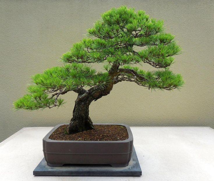 Bonsai Bonsai Trees Aesthetic Bonsaiearth Follow Japanese Pine Red Japanese Red Pine Bonsai Follow Bonsai Tree Types Indoor Bonsai Tree Bonsai Garden