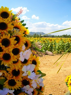 Fields of Sunflowers at HuayMongkol Temple, Hua Hin